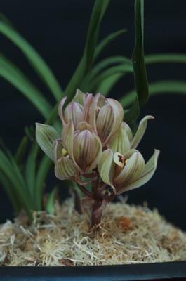 兰花可持续发展的建议-莲瓣篇-中国兰花交易网社区图片