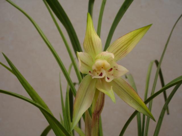 此花花朵大(花瓣展开有直径7公分)
