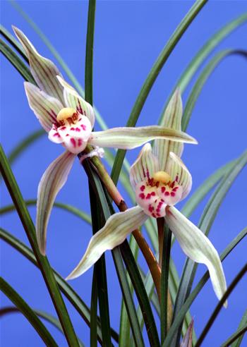 奇花类兰花开品有一定的弹性.图片