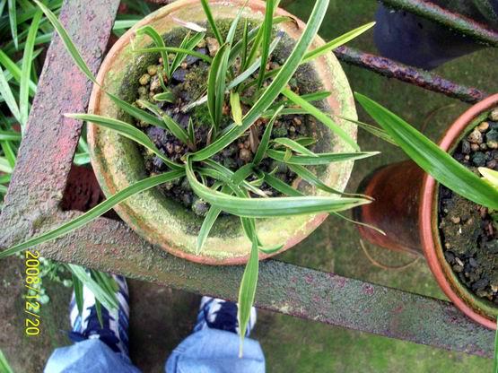 漂亮的蕙兰水晶草