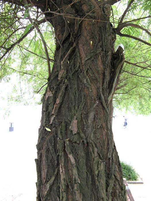 柳树皮图片