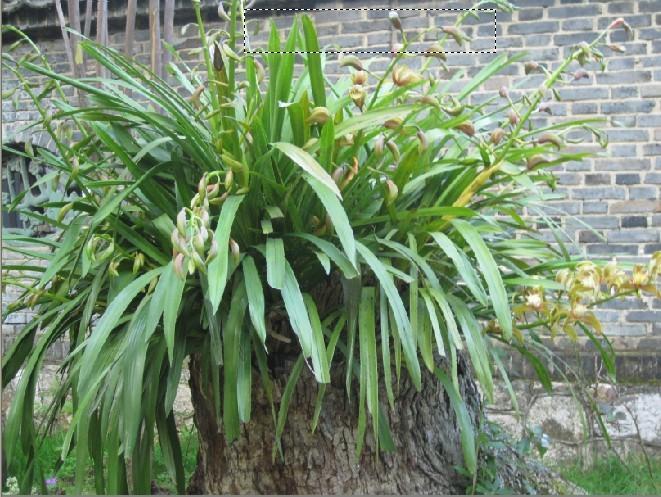 在丽江黑龙潭公园见到很多这样的种在树兜里的大盆虎头兰,于是欣喜地