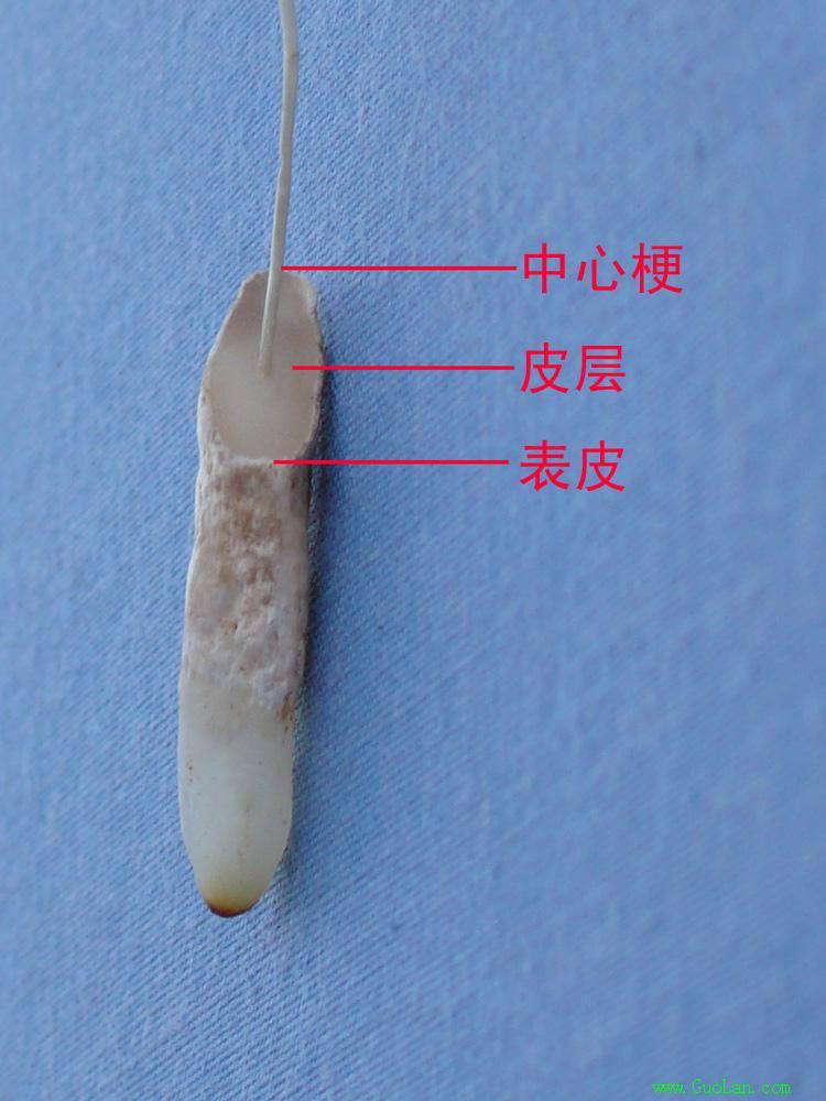 兰根的内部结构,是典型的单子叶植物类型