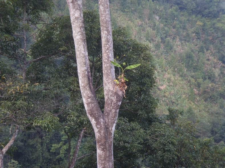 树上的野芭蕉树.真的很神奇.竟然长到树上去了.