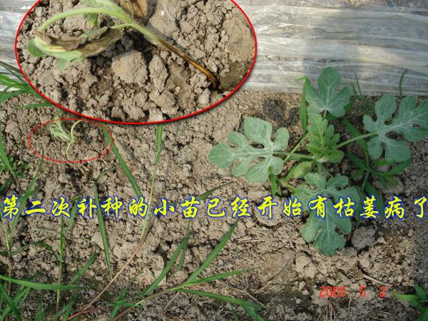 兰花茎腐病专用药防治西瓜枯萎病的试验结果(二)