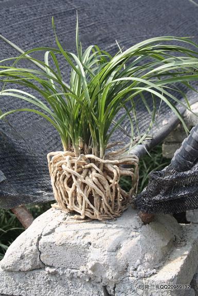 熟草壮苗的种植方法-以兰会友-中国兰花交易网社区