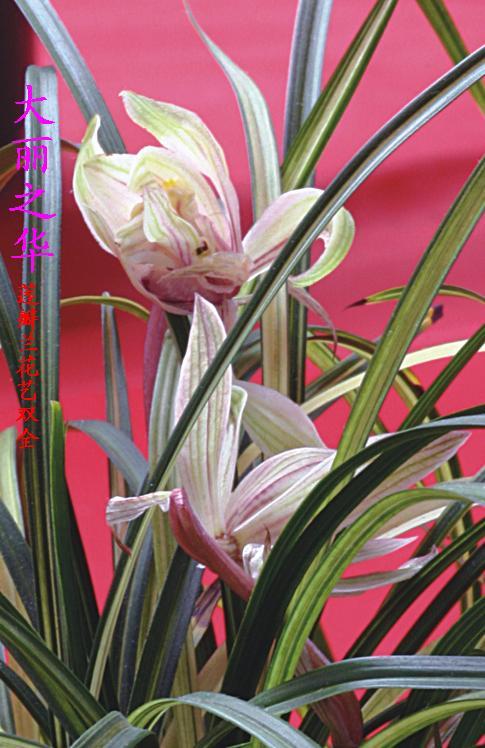 莲瓣篇-中国兰花交易网社区图片