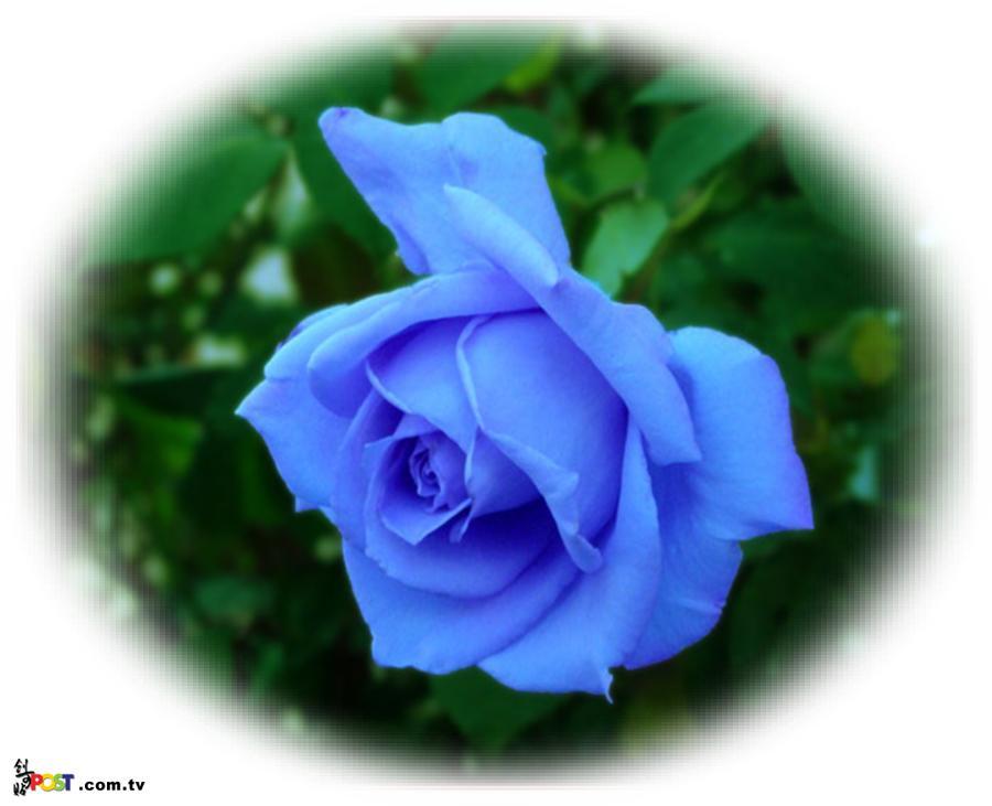 qq头像蓝玫瑰花图片 一只