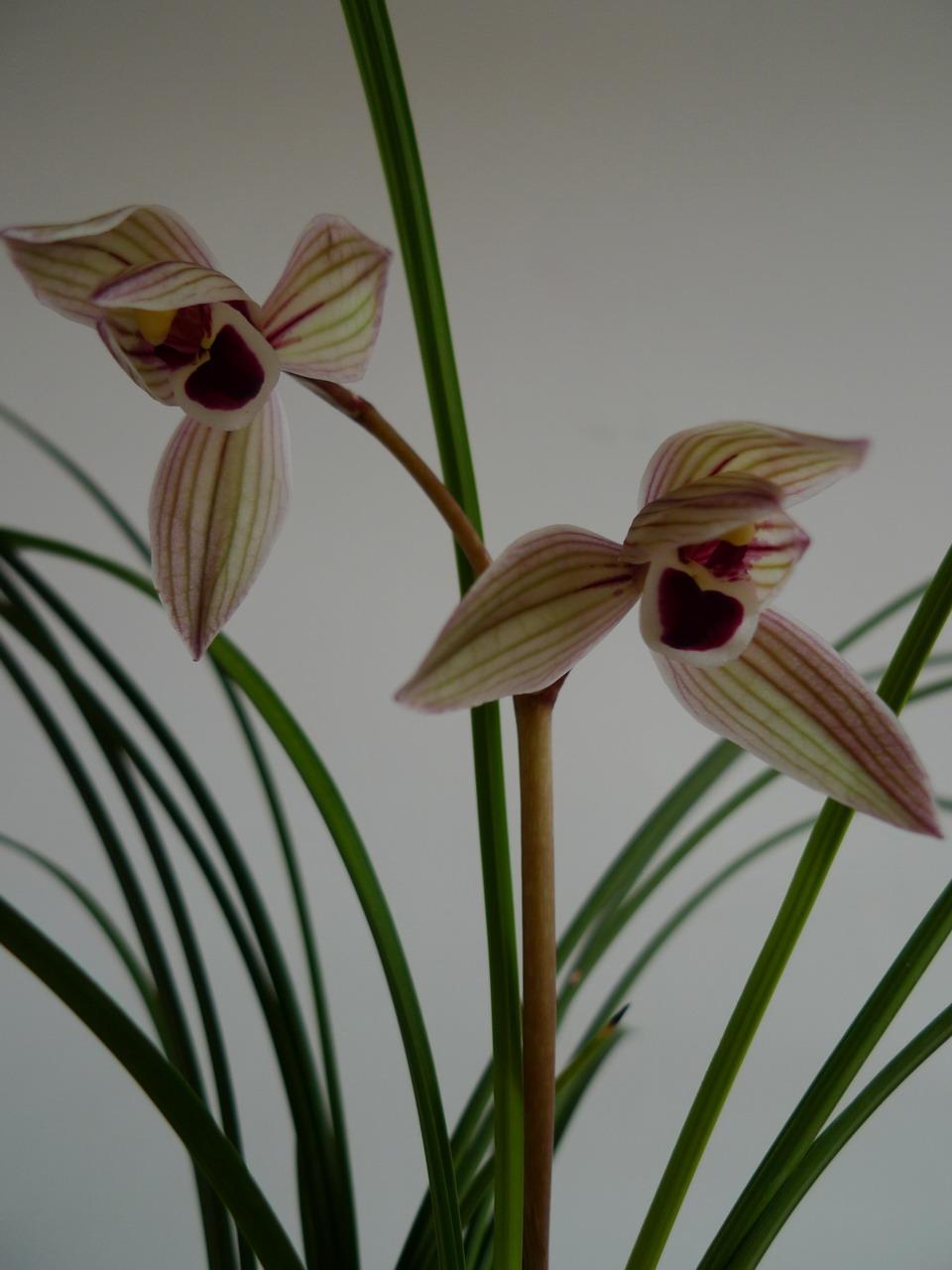 害 什么品种的兰花都养的有滋有味的 不佩服不行啊 -心心相映图片