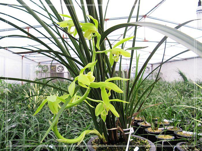 外三瓣长脚,形似柳叶,剪刀捧(盛开时呈开天窗式),花色淡黄绿色,白卷舌图片