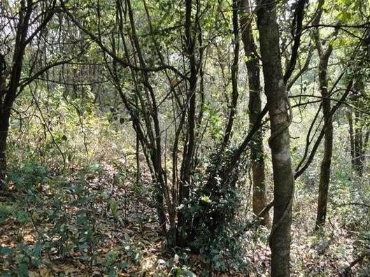 西双版纳热带雨林植被(二)野生大树茶