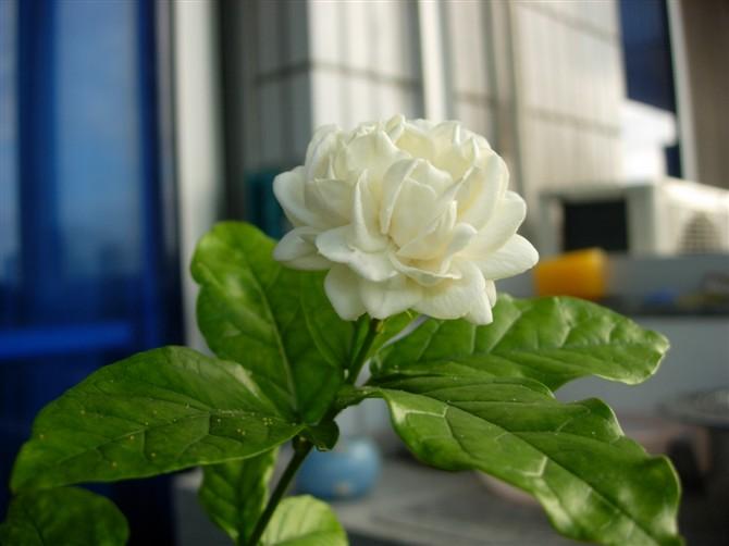 好一朵美丽的茉莉花
