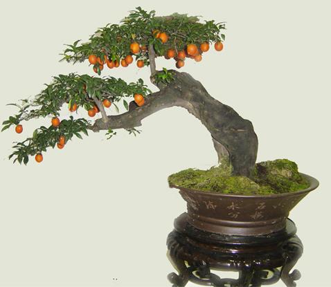 树木盆景用铁丝造型