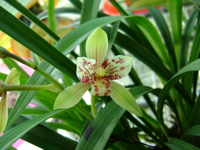 带花--荷花仙女(3个苗1花)