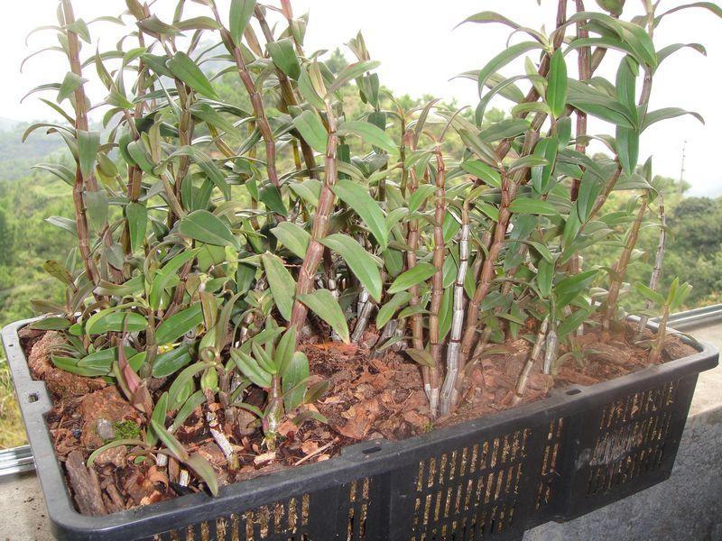 人间仙草 铁皮石斛种苗图片