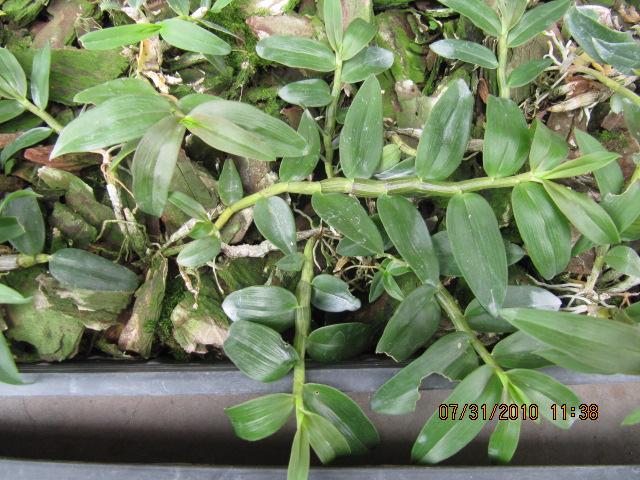 家庭阳台种植铁皮石斛图片
