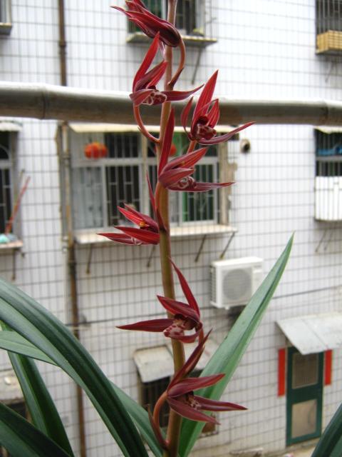 经典大红花