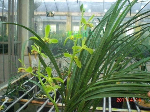 老上海梅(蕙兰老八种)3苗+1大芽