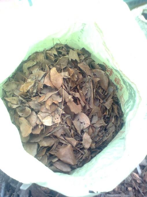准备的樟树叶!图片