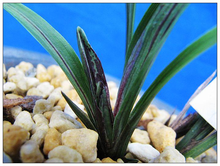 凡本园所出售的兰花,叶背有本园签名保证品种.图片