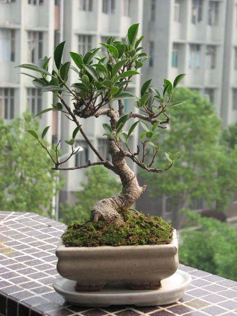 小叶榕盆景,紫檀小苗图片