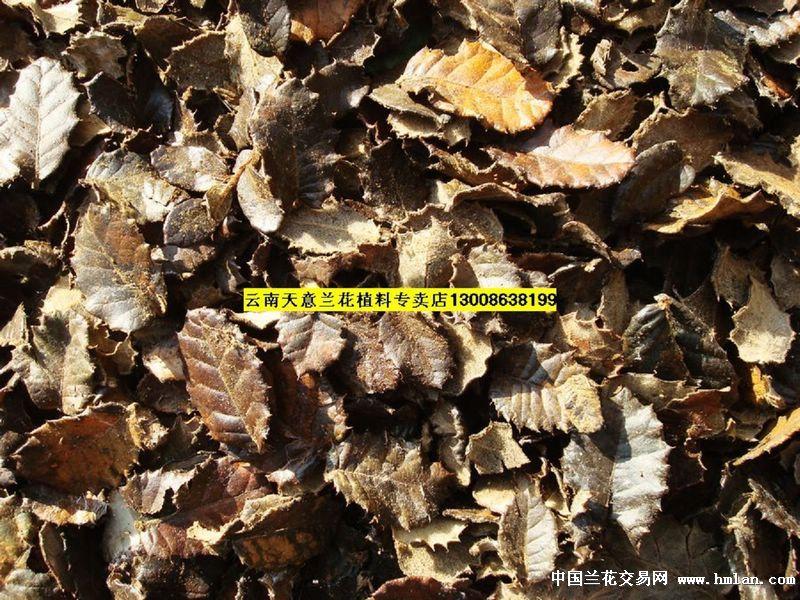 刺栎树的叶子一年四季都是青黄青黄的,叶面青色,叶背黄色,叶边缘有小