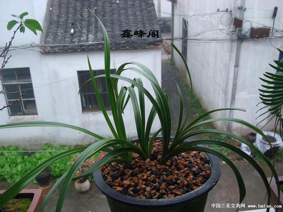 大蒜的成长图片展示