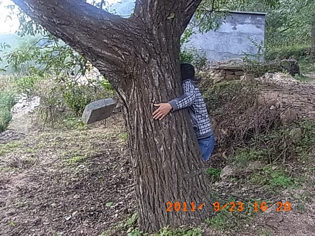 看核桃树的树根,1个人够抱!
