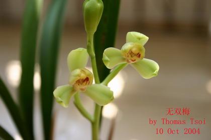 香港 品种/类别:传统品种 > 四季兰 > 荷梅型,名称:梅皇,出处:香港选出