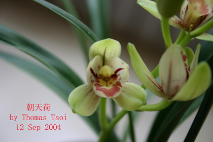香港 品种/类别:传统品种 > 四季兰 > 素花,名称:青山玉泉,出处:香港...